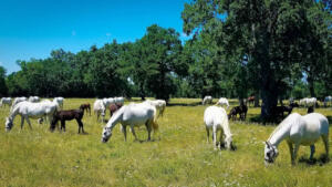Lipizzan horses with their dark foals